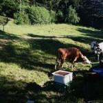 Honig für die Kuh